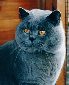 Pampurred British Shorthair Cats And Kittens 2019