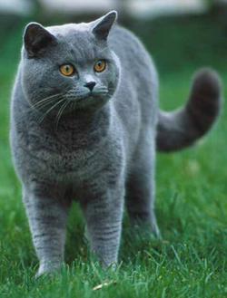 British blue cat to buy